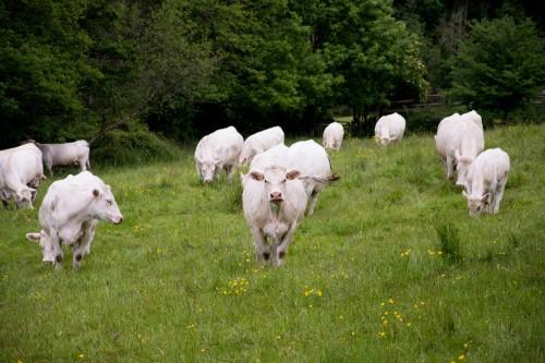 Les vaches viendront vous saluer