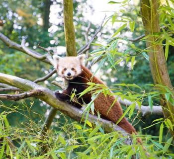 Panda roux du parc de Clères ©Leslie LEFEBVRE
