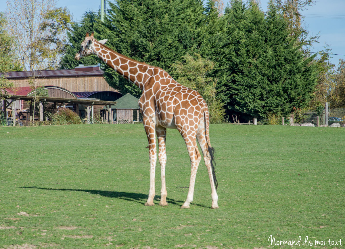 Girafe du Zoo de Cerza