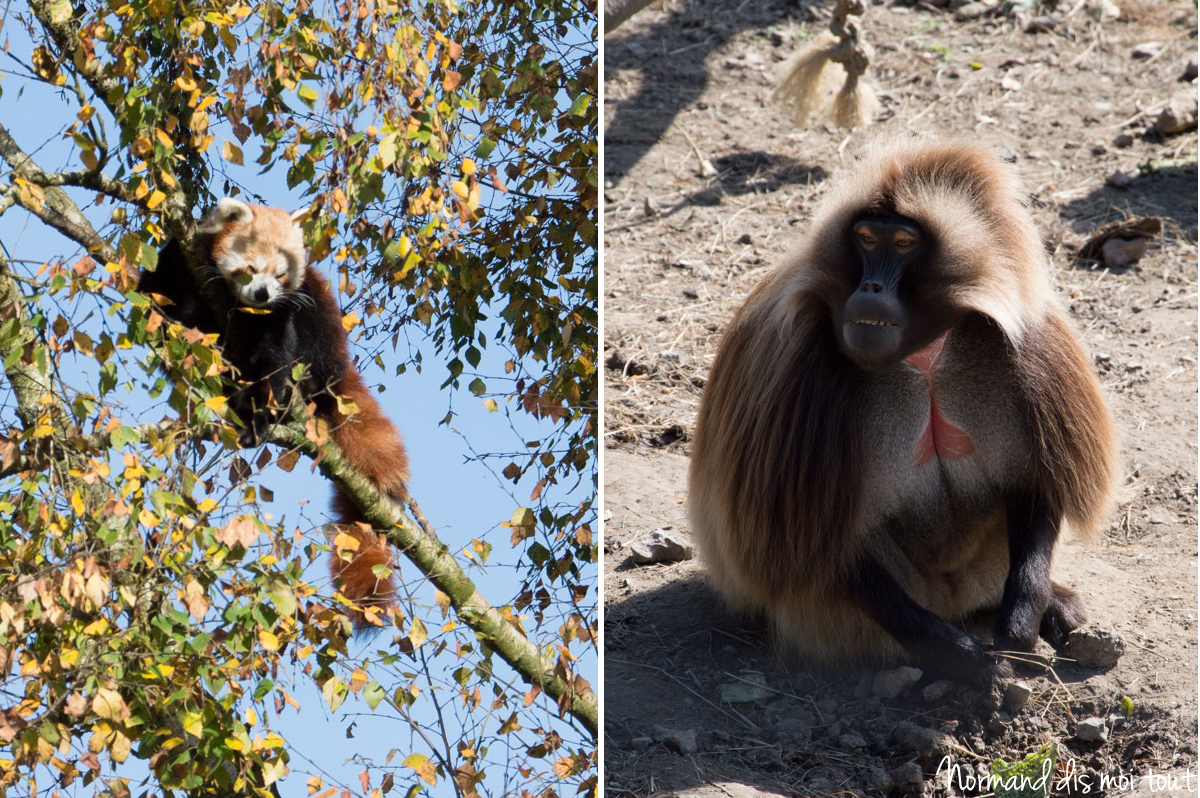 panda roux et singe du zoo de Cerza