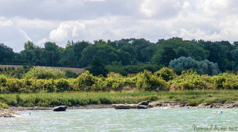 Les phoques viennent bronzer en Normandie