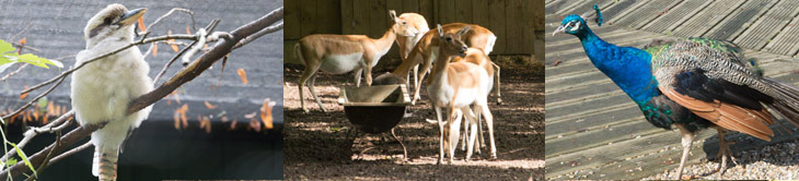 Animaux du parc : martin-chasseur, biches, paon