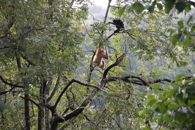 Les gibbons du parc animalier jouent dans les arbres