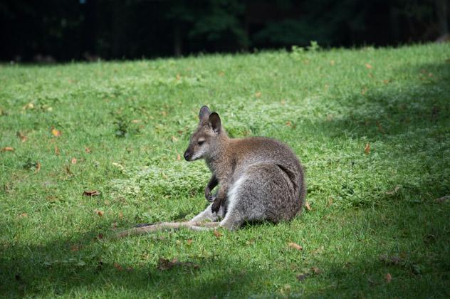 wallaby du parc zoologique de Clères