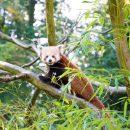 Panda roux du parc de Clères