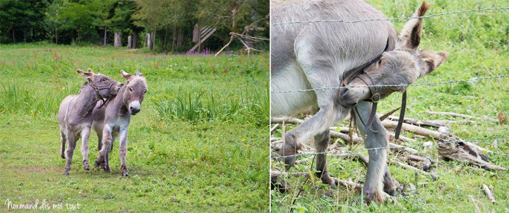 Les ânes cabotins de la ferme du château de Canon