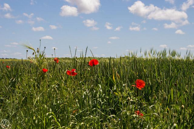 Les champs et les coquelicots, magnifiques en cette belle saison