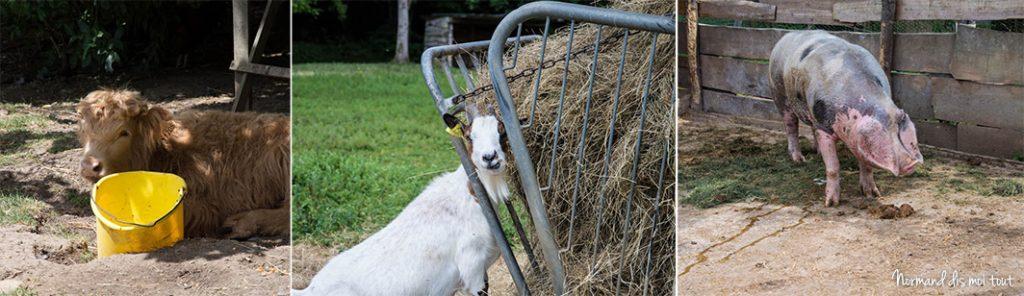 Les animaux de la ferme pédagogique : veau, chèvre et cochon de Bayeux